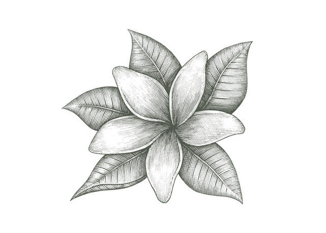 Line Drawing Jasmine Flower : Steven noble illustrations jasmine flower