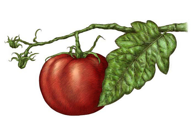 Tomato Wedge Drawing