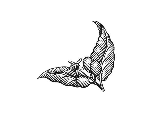 Steven Noble Illustrations Coffee Plant