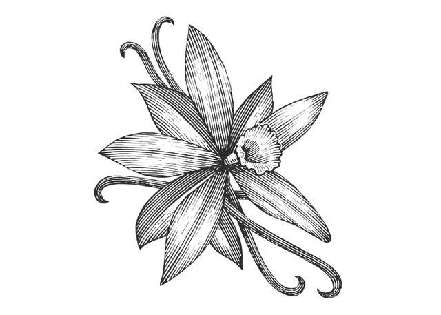 Steven Noble Illustrations: Vanilla Flower