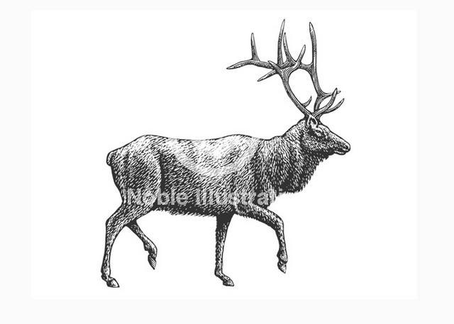 Steven Noble Illustrations: Elk