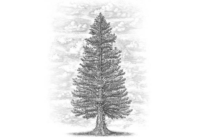 Steven Noble Illustrations: Pine tree