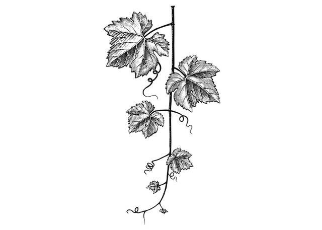 Steven Noble Illustrations: Grapevine leaves